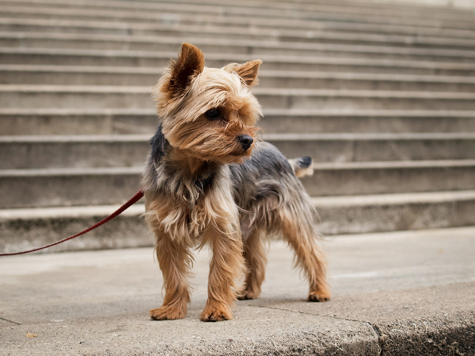 Most Popular Dog Breeds State by State 3