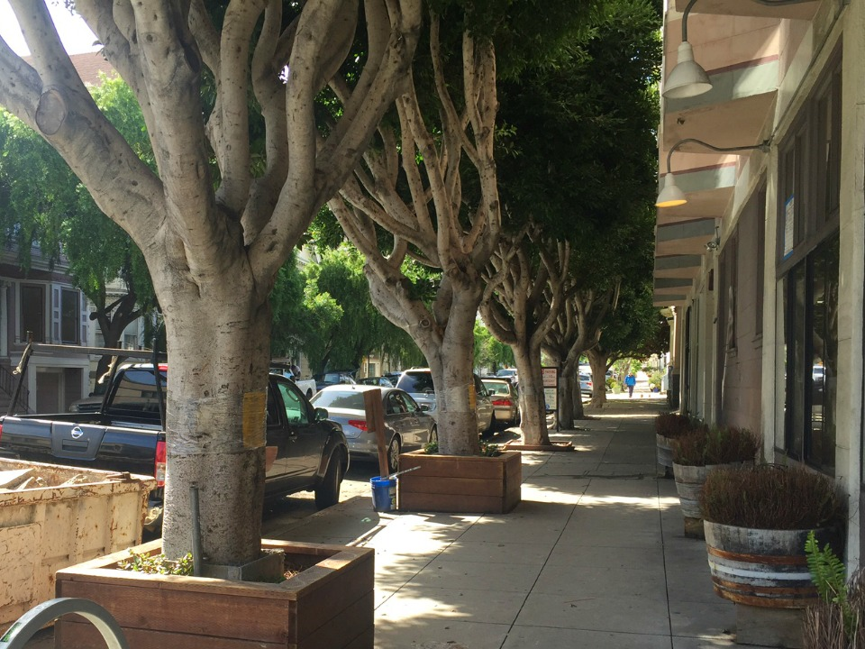 7 ficus trees slated for removal outside former bean there location - Ficus Trees