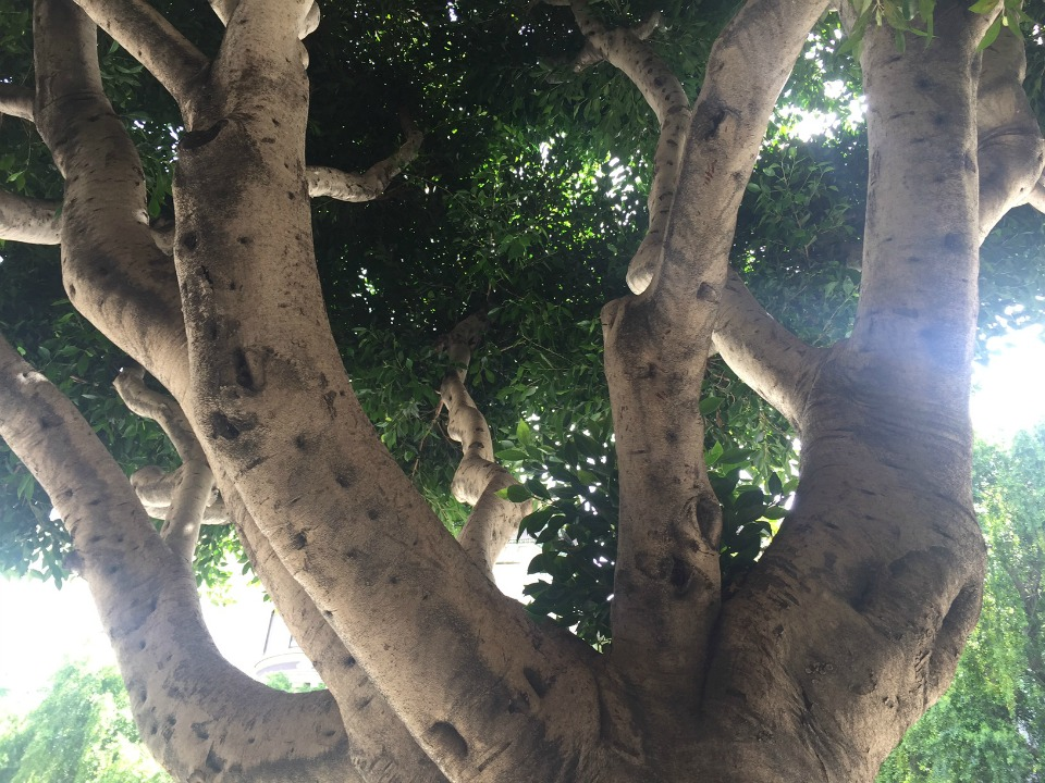 a press release from public works explains that ficus trees that are over 50 feet tall with branches that interfere with power lines and trunks that - Ficus Trees