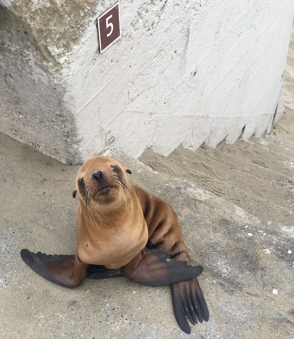 Sea lion found by officers diagnosed with pneumonia and malnutrition