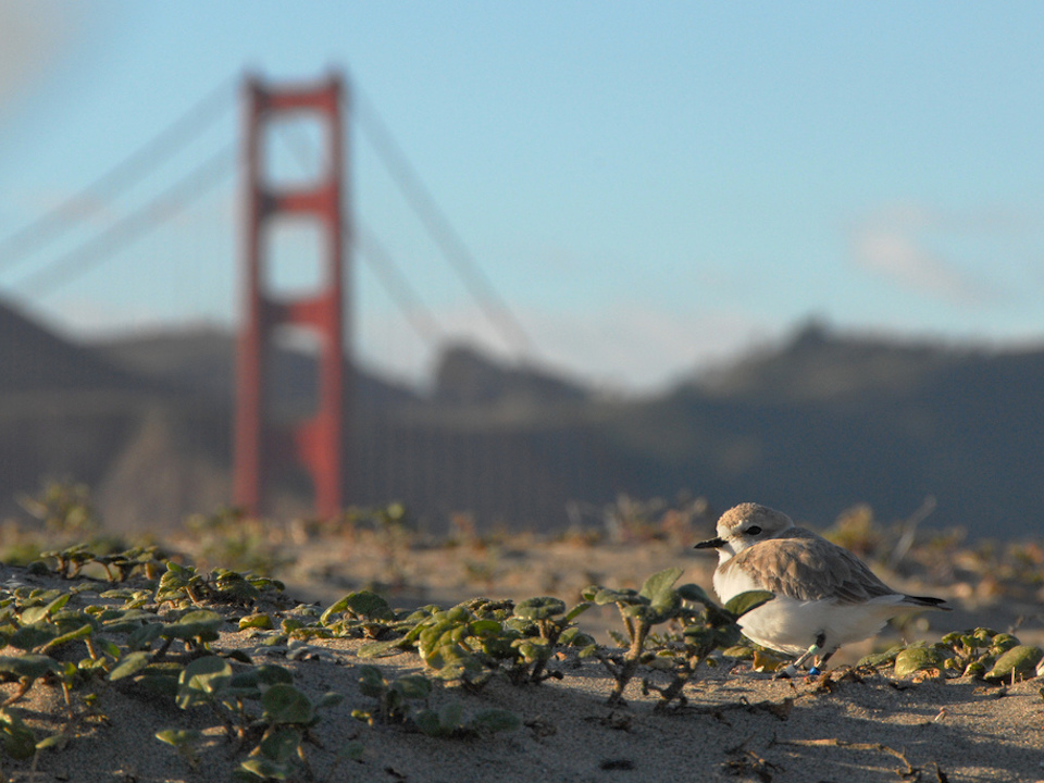 Snowy plover at crissy field by the nps