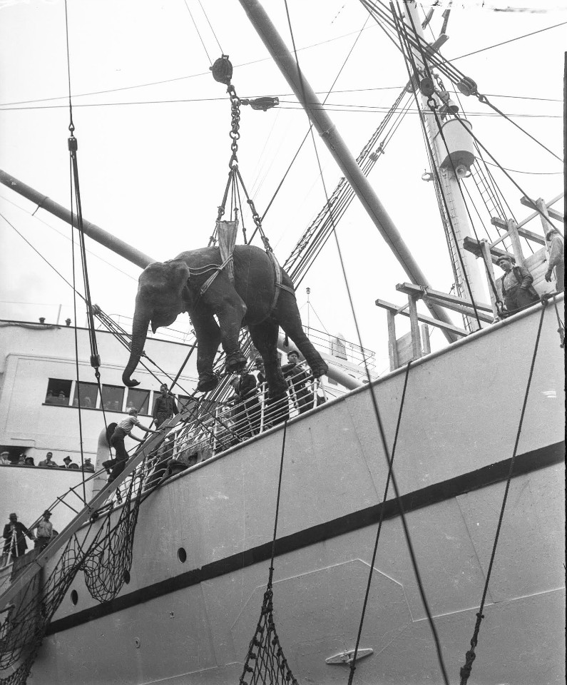 An elephant being hauled on or off a boat in San Francisco.