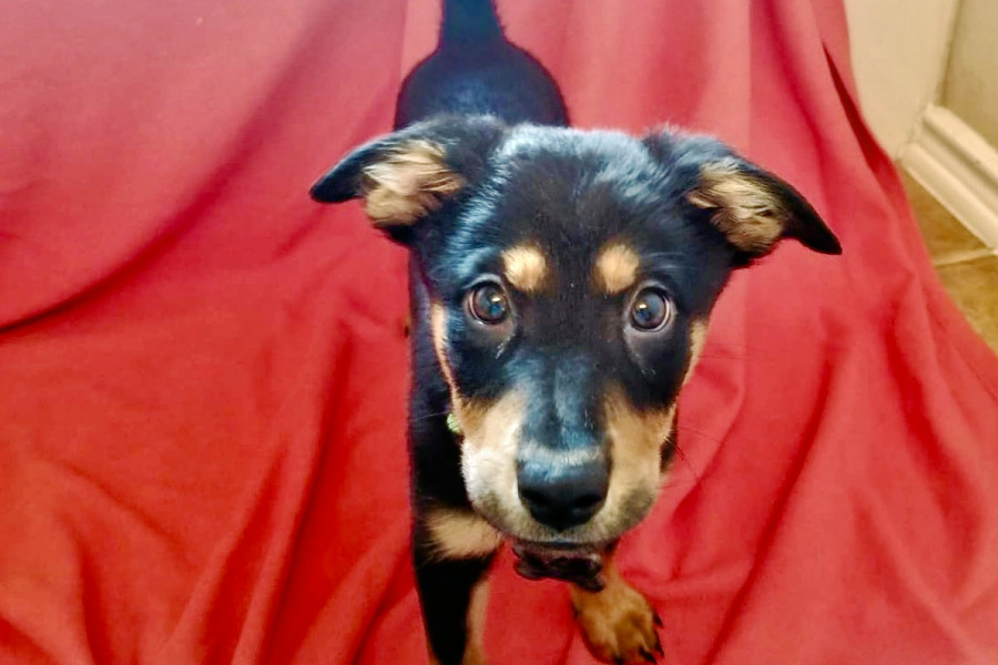 Cuteness overload: 7 eager puppies to adopt now in and around San Antonio