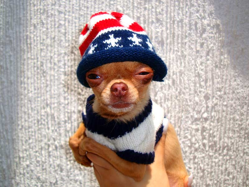 Sweater Clad Chihuahua Sparks Upper Haight Shooting Hoodline
