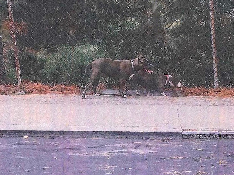 Dogs wanted in fatal pet mauling