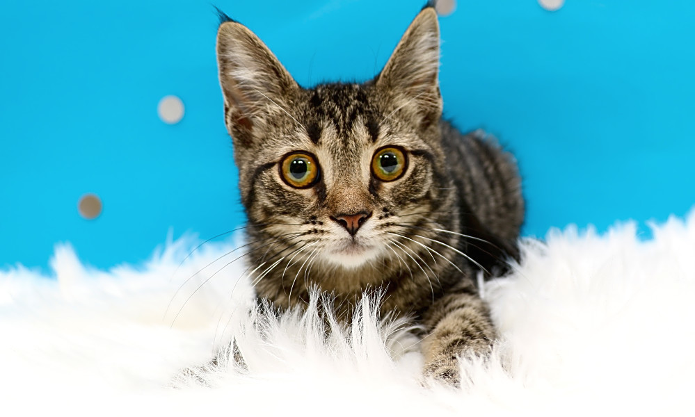 6 fluffy felines to adopt now in Charlotte