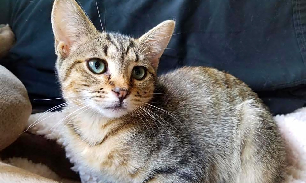 Want To Adopt A Pet Here Are 4 Fluffy Felines To Adopt Now In Chicago Cbs Chicago